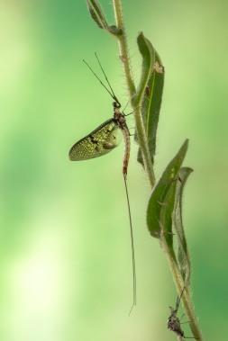 Ephemera danica