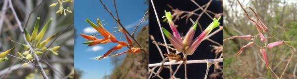 Blüten von Deuterochnia meziana