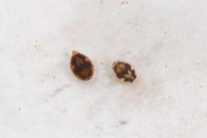 """Eine der """"Small Five"""": Die skurrilen Larven der Eintagsfliege Prosopistoma mccaffertyi (Ephemeroptera: Prosopistomatidae) sind nur wenige Millimeter groß und im Wasser leicht zu übersehen. Bild: Staniczek/SMNS."""