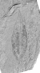 Fossiles Blatt