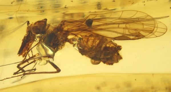 Psocorrhyncha burmitica
