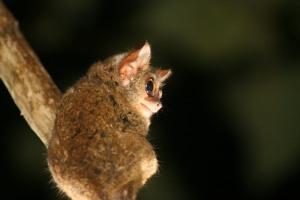 Ein Männchen des Wallace-Koboldmakis (Tarsius wallacei), Foto: Merker