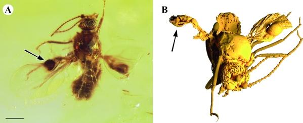 Fossile Mücken in Bernstein