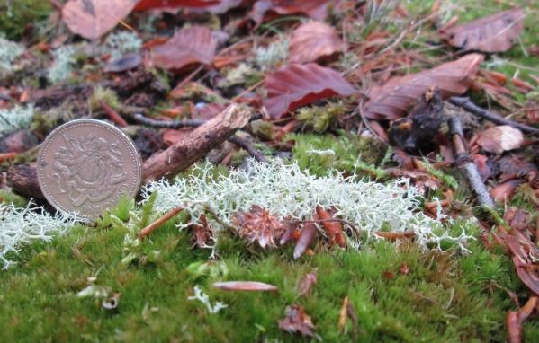 Die Ebenästige Rentierflechte (Cladonia portentosa)